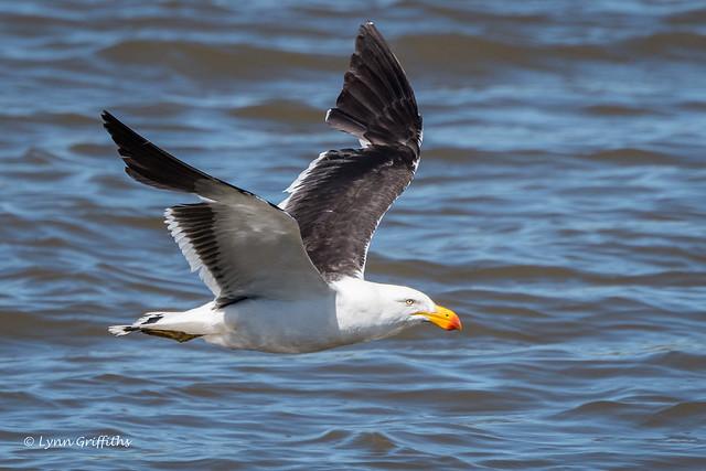 Pacific Gull D50_7748.jpg