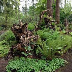 #fernstumpery w/ #jackandthepulpit #flowers ... #fern #stump #rootwad #PNW #botanicalgarden #federalway