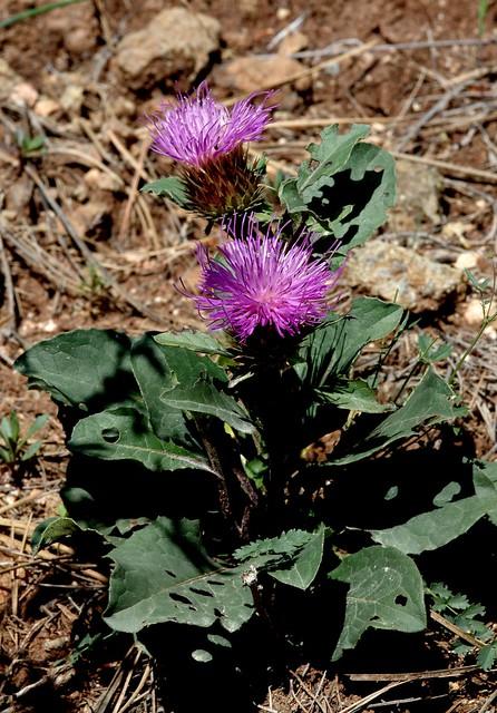 Klasea baetica (Boiss.) Holub - ASTERACEAE - Sierra de Aguas (Málaga) (6)