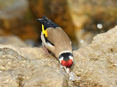 HolderThirsty Goldfinch