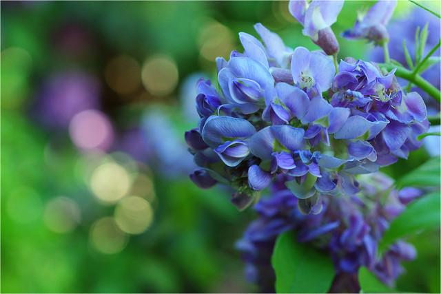 wisteria...........