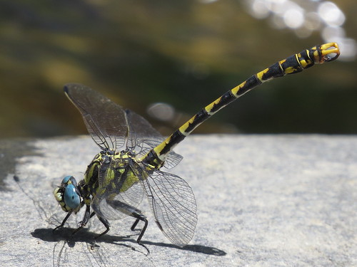 Onychogomphus uncatus (Large Pincertail) male
