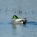 Anas falcata (Falcated Duck)