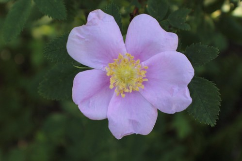 Sweetbriar Rose - Rosa eglanteria (R. rubiginosa)