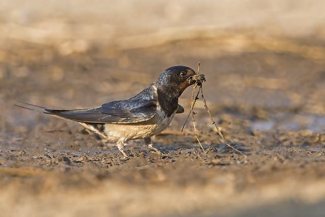 Swallow (Hirundo rustica)