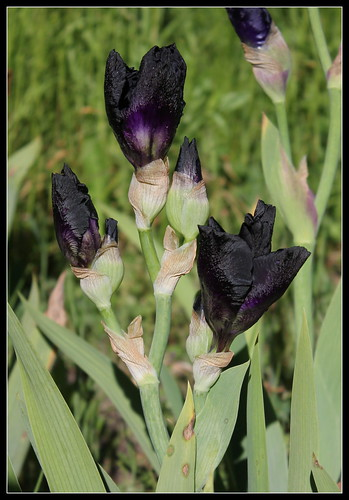 Iris 'Old Black Magic' - Schreiner 1996 34923239415_23d3b85632