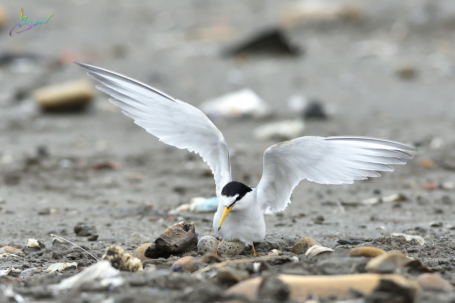 Little_Tern_3535