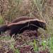 Zorrilho (Conepatus chinga) - Molina's hog-nosed Skunk