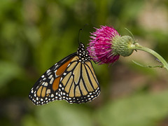 Monarch, female (Danaus plexippus)