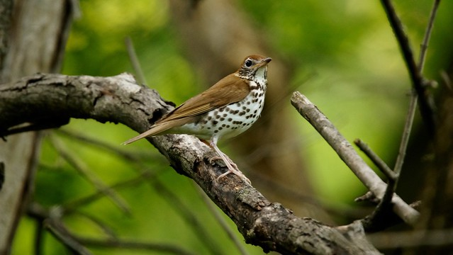 Wood thrush - Valley, Sony SLT-A57, Tamron SP 150-600mm F5-6.3 Di USD