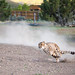 Cheetah Run at the Animal Ark, Nevada by DreyerPictures (11 million views - Thank You!)