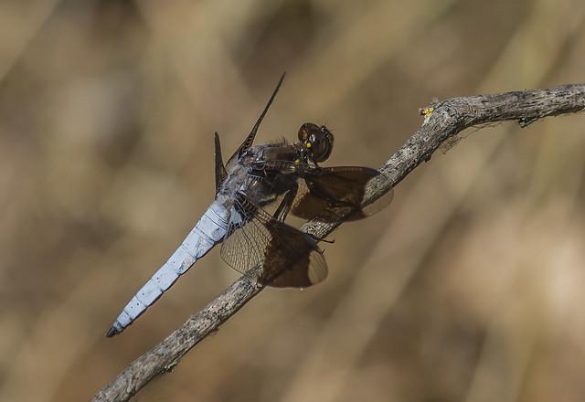 Common Whitetail (Plathemis lydia) - male