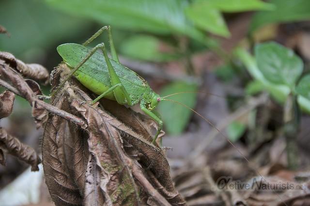 grasshopper 0000 Corcovado, Osa peninsula, Costa Rica