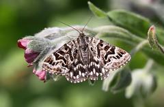 """Euclidia mi"" - mi-vlinder"