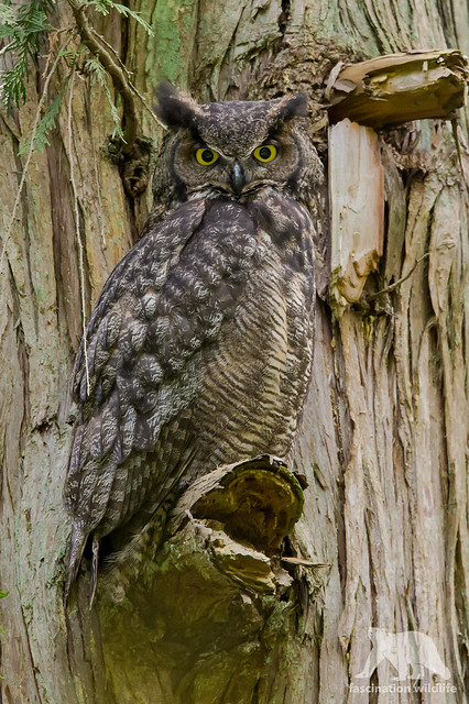 Great Horned Owl, Nikon D4S, Sigma 150-600mm F5-6.3 DG OS HSM | S