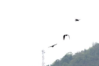 Three vultures flying