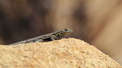 Lizard in Morongo Valley