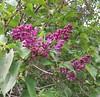 Cold Spring Lilacs