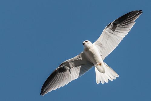 whitetailedkite whitetailed kite raptor bird birdinflight birdofprey elanus leucurus elanusleucurus coyotehills coyotehillspark fremont california juvenilebird juvenile sp186 blue bluesky sky