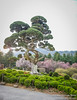 Juniper Tree at the Garden of the Morning Calm