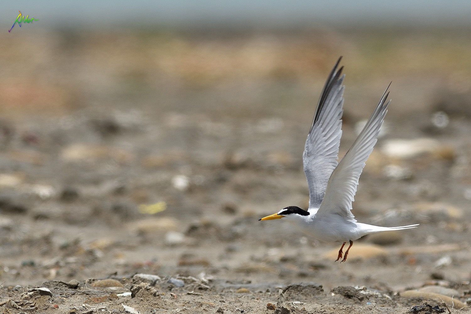 Little_Tern_2413