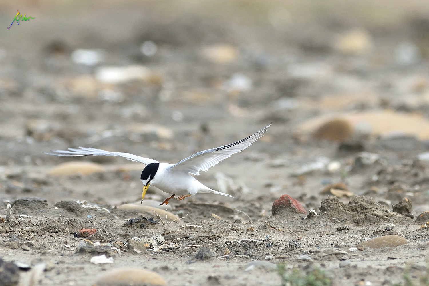 Little_Tern_2075