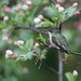 *** colibri à gorge rubis femelle / ruby-throated hummingbird female