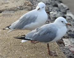 Sea Gulls at Shorncliffe (4)