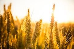 Sunset on wheat