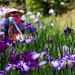 Iris garden by Yorkey&Rin