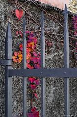 08112015-Vigne novembrine_0001