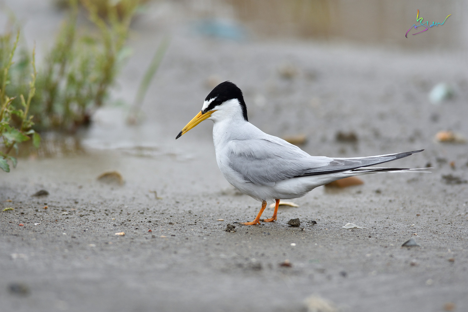 Little_Tern_4127