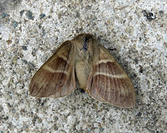 66.008 Fox Moth - Macrothylacia rubi