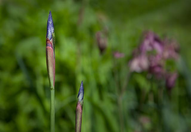 Soon...  Iris / Schwertlilie