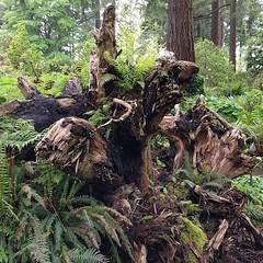 #fernstumpery #fern #stump #rootwad #PNW #botanicalgarden #federalway