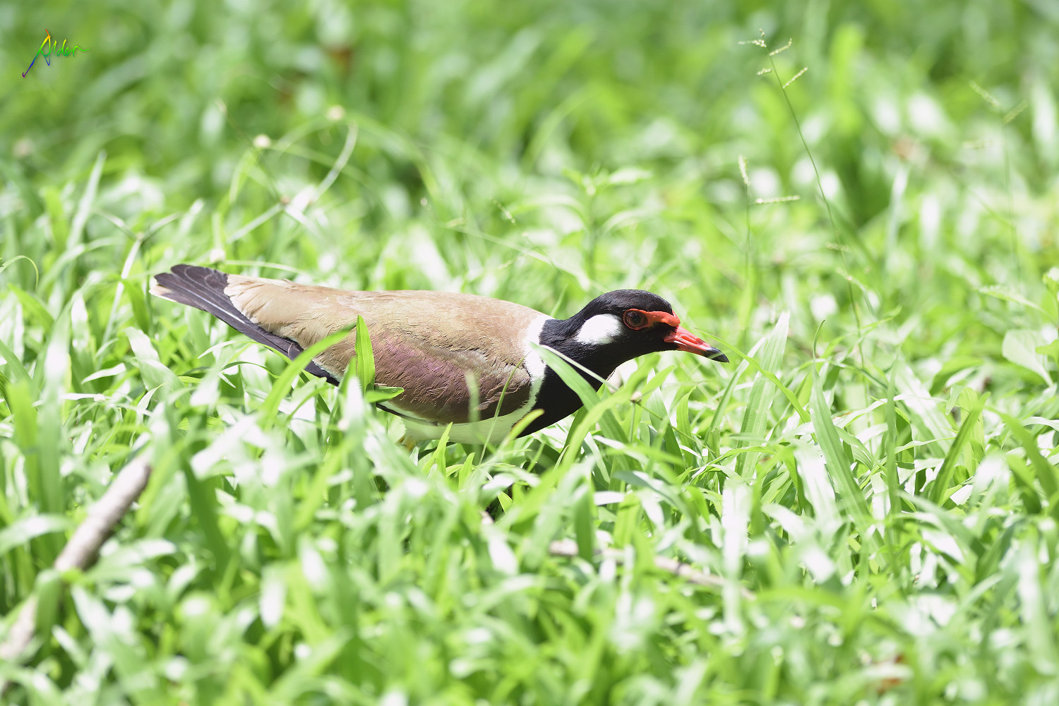 Red-wattled_Lapwing_1277