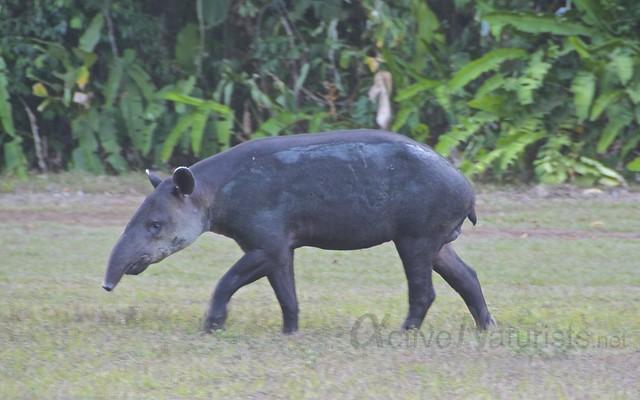 tapir 0001 Corcovado, Osa peninsula, Costa Rica