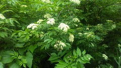 Black Elderberry blooming (Sambucus canadensis), just north of the Friendship traffic circle, Rt. 2, North Beach Quad, Anne Arundel County, MD, 2017_0523