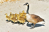 Canada Goose And Goslings 17-0520-3305 by digitalmarbles