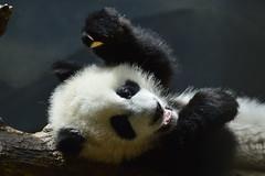 Giant panda ( Ailuropoda melanoleuca)  _DSC0508 1