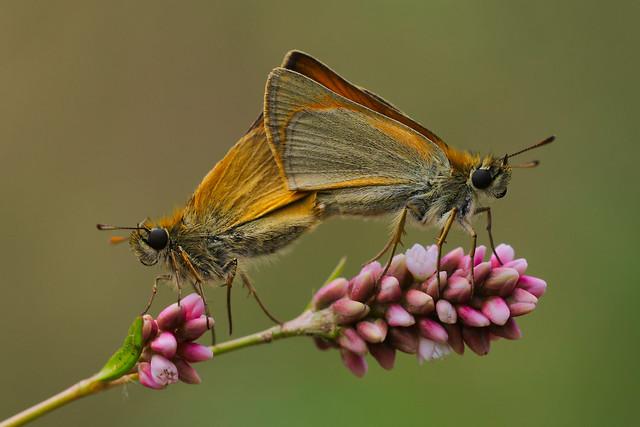 Thymelicus sylvestris mating