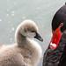 Cisne negro com seu filhote no Parque Municipal de Barueri
