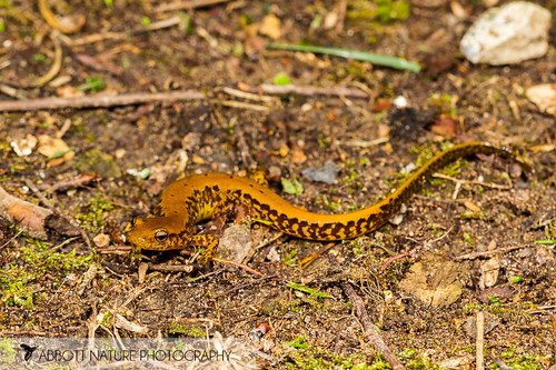 Eastern Long-tailed Salamander (Eurycea longicauda longicauda) 20170513_9366.jpg