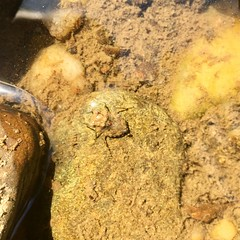 Big-eyed Toad Bug (Gelastocoris oculatus)