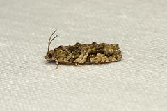 Proteoteras aesculana (Maple Leaf Twig Borer) Hodges # 3230 - Everett WA