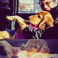 #Ámbar está volviendo a casa... muy cómoda en el asiento del taxi...