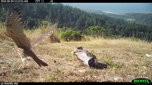 Kestrel fledglings