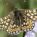 Marsh Fritillary (Euphydryas aurinia)-2