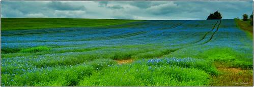 Blue linen field