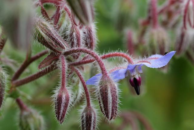 Borago flowers, Canon EOS 60D, Canon EF 100mm f/2.8 Macro USM